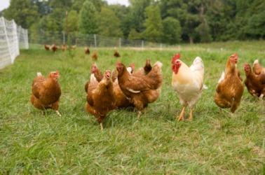 Topic des bonnes nouvelles - Page 5 Chicken