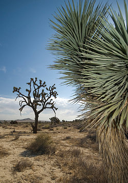 desert scrub with Joshua tree in background