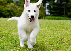 happy, lively white puppy