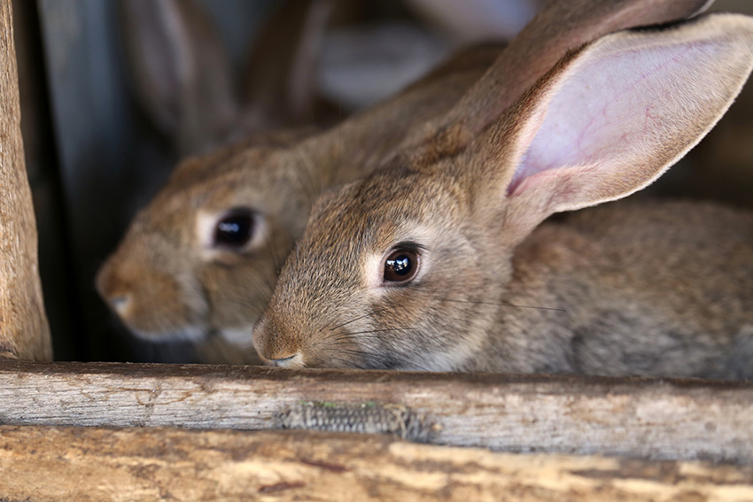 two rabbits in pen