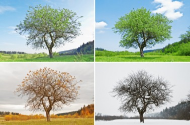 A tree seen in each of the four seasons.