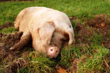 A pig wallows in the mud.