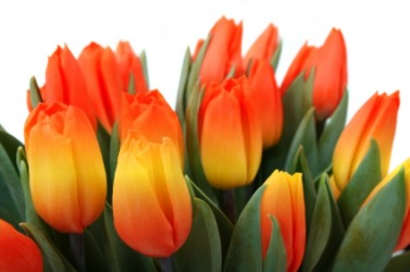 Beautiful variegated tulips.