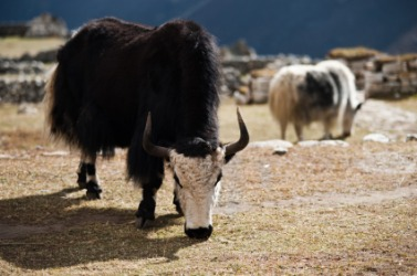 A yak in the Himalayas.