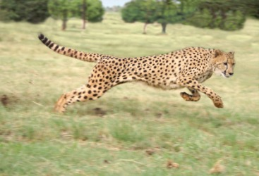 A fast running cheetah is an example of yare.