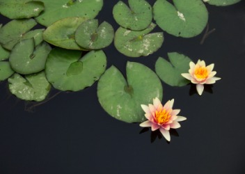 The water lily has emersed.