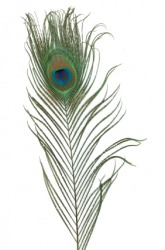 A beautiful peacock feather.