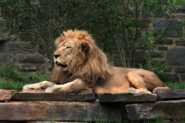 A lion has a kingly manner.
