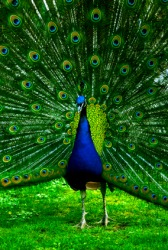A peacock diplays his feathers.
