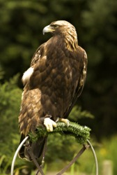 The golden eagle is a regal bird.