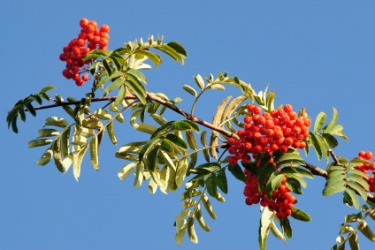 Some red berries on a branch.