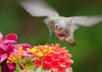 A hummingbird's wings flutter.