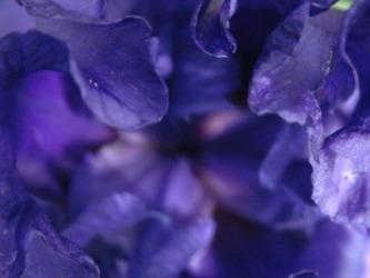 These iris petals are indigo.