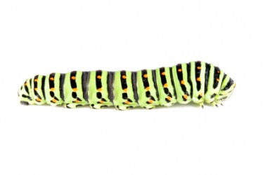 This caterpillar is an example of a larva.