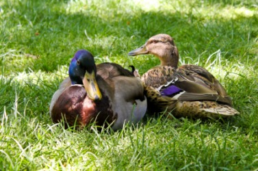These ducks are mates.