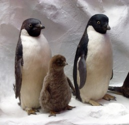 A family of penguins.