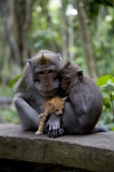 A pair of monkeys adopt a kitten.