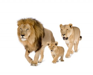 A lion family.