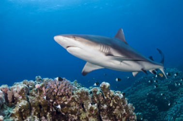 A grey reef shark.