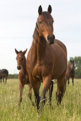 This horse has been bred to produce this foal.