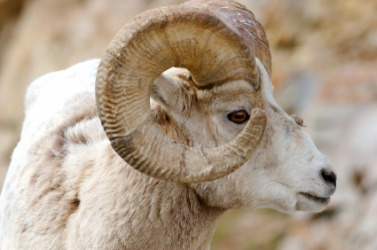 Curled horns on a sheep.