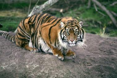 A beautiful tiger.