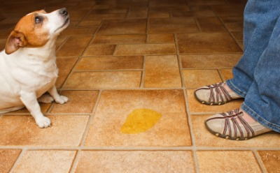 A little doggie is in trouble for leaving urine on the floor.