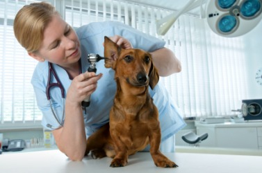 A veterinarian examines a little dog.