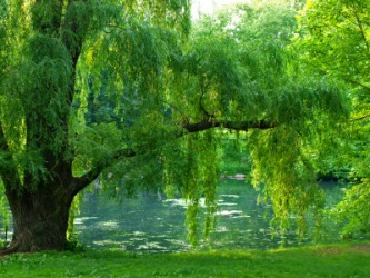 A beautiful willow by a pond.