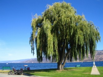 The weeping willow tree.