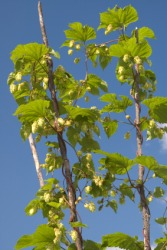 The bine of a hop plant.
