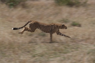 The cheetah is very agile.