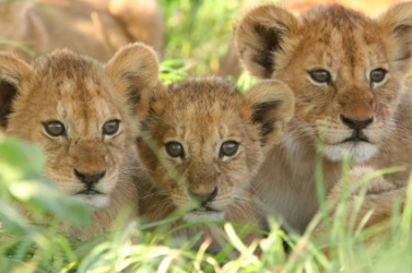 These lion cubs are alike.