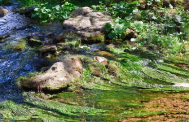 A closeup of algae covered rocks in a stream.