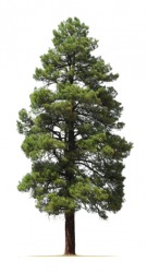 The Ponderosa pine is a coniferous tree.