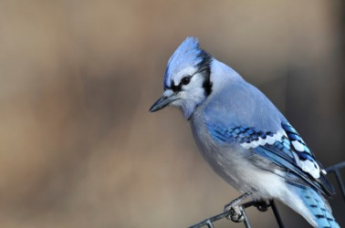 The blue jay is one type of bird.
