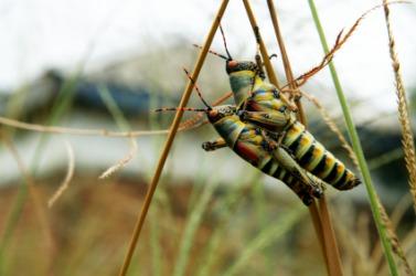 A pair of locust.
