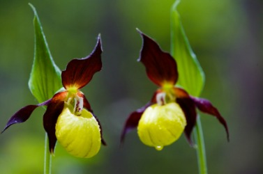 These lady slippers are orchid flowers.