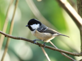The titmouse is called a tit.