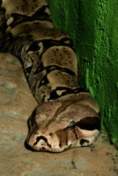 The boa constrictor is a venomous snake