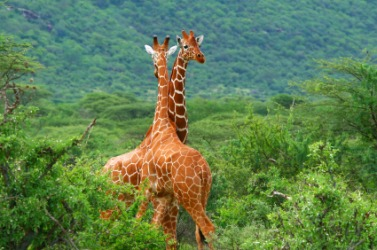 These giraffe are part of this areas wildlife.