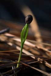 A seed begins to germinate.