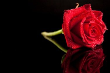 A beautiful red rose.
