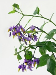 A bittersweet nightshade plant.