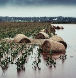 These ruined crops show the affects of a bad storm.