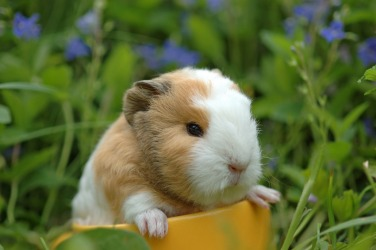 Guinea pigs are thought to be docile.
