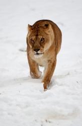 A lion approaches.