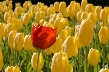 This red tulip is conspicuous.