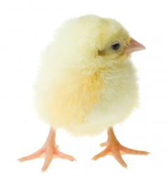 A fuzzy chick.