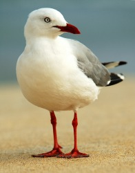 A gull.
